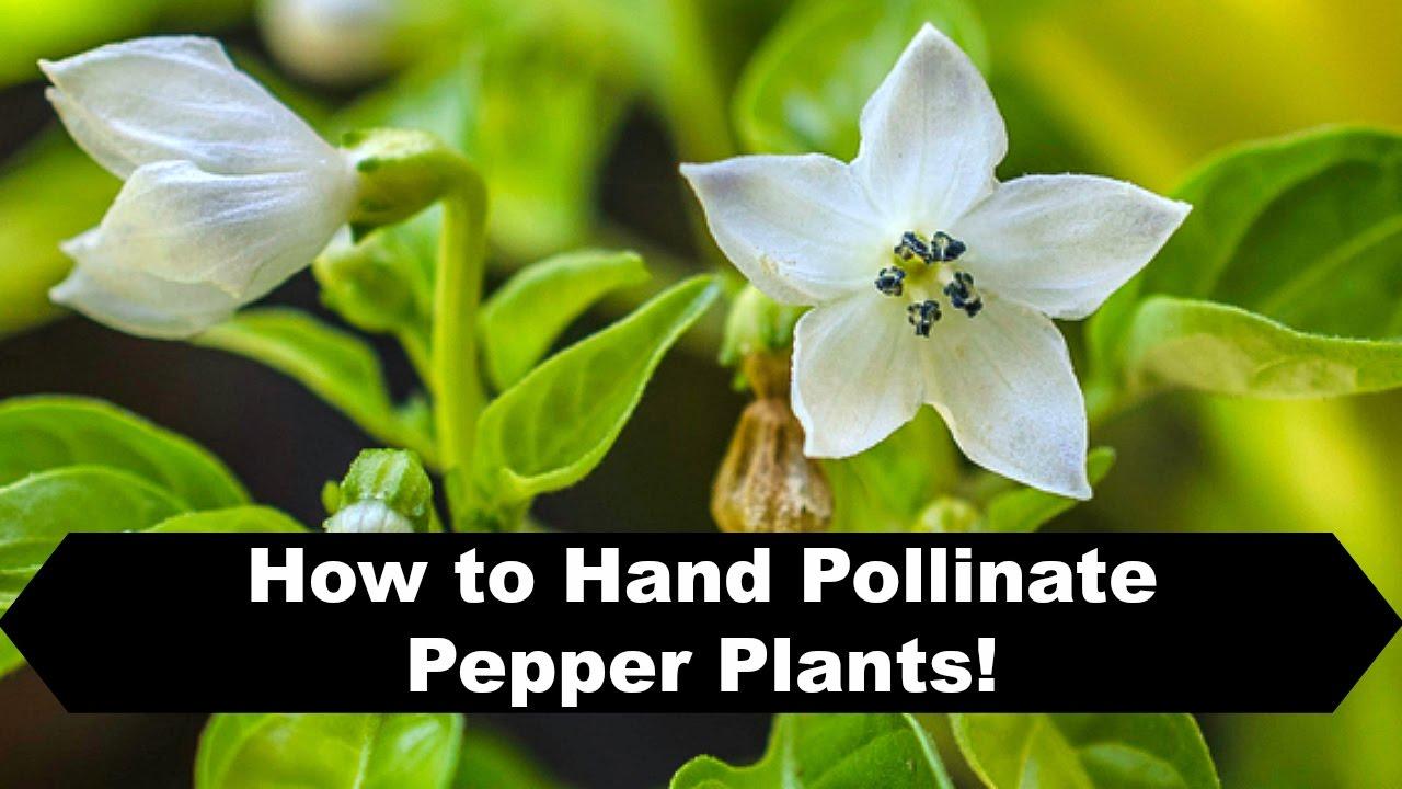 pepper plant flowers