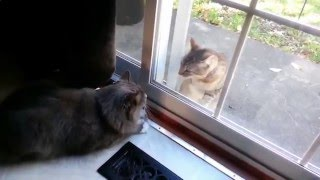 Видео приколы кошки!Битва через стекло друг с другом!Смешно!