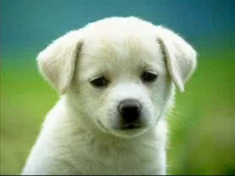 Puppy Barking Ringtone