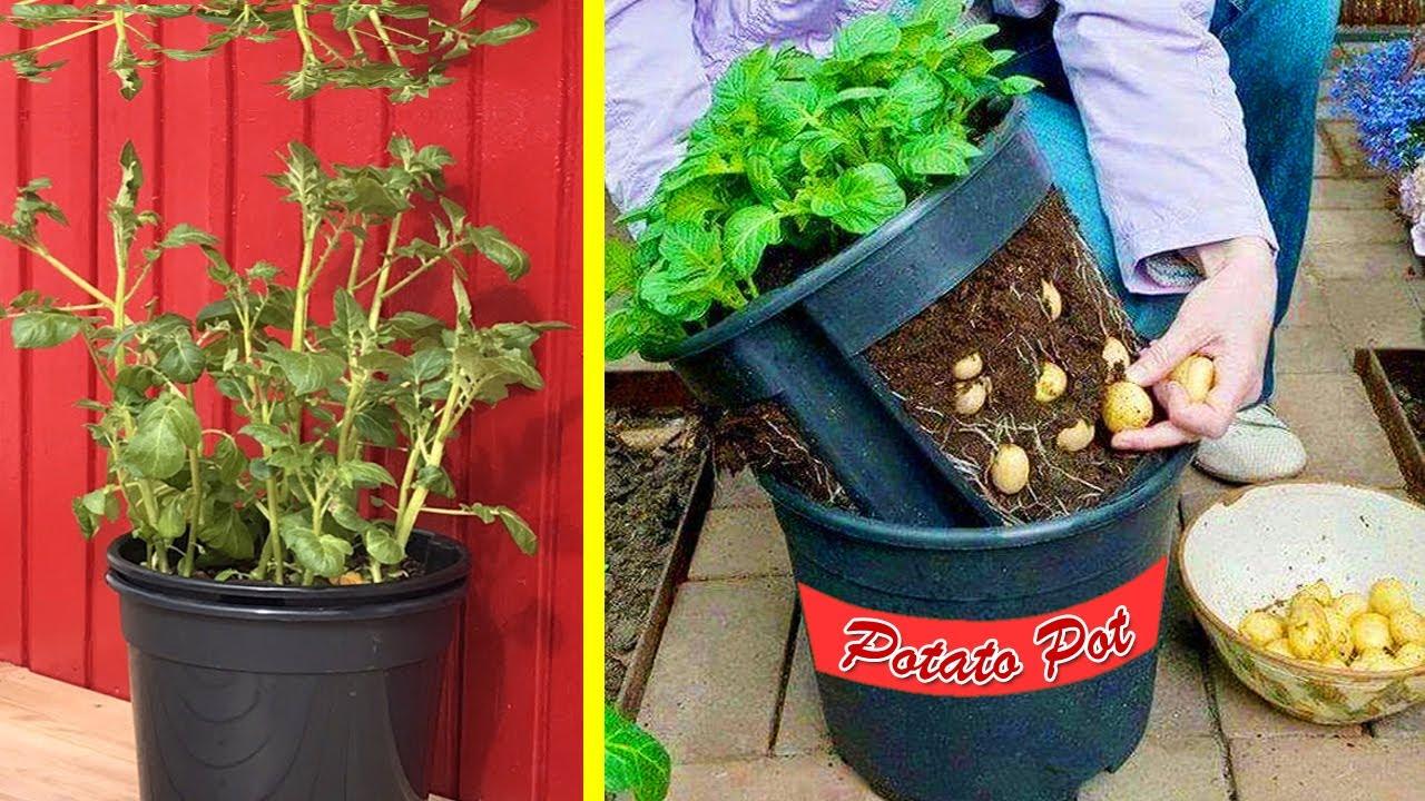 Cara Menanam Kentang Di Pot Atau Polybag Cepat Dan Mudah How To Grow Potatoes Youtube