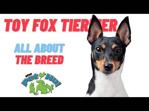 All About the Breed: Toy Fox Terrier