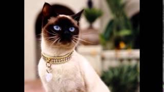 Прелестные сиамские кошки!