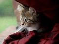 Kitten Cam | hypoallergenic Siberian kittens for sale