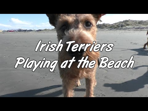Irish Terriers playing at the beach. Puppy playtime. Claws & Teeth.