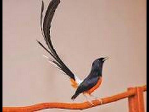 Suara kicauan burung murai batu yang merdu