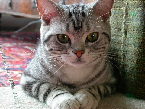 Animal Planet  :  Cats 101 ~ American Shorthair