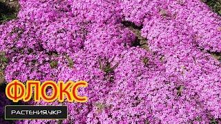 Цветочный розовый ковёр или Флокс шиловидный / флоксы уход и выращивание / Ботанический сад, Харьков