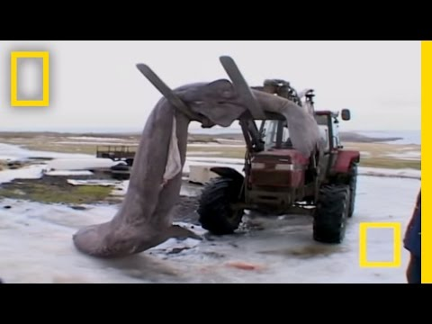Eating Rotten Shark | National Geographic