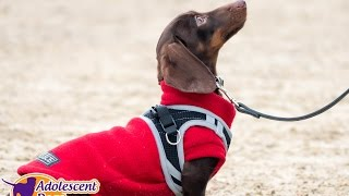 Frankie - Miniature Dachshund - 3 Week Residential Dog Training at Adolescent Dogs