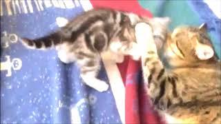 Ларион - красота, грация и хищный расписной окрас! Британские котята питомника Elite British.