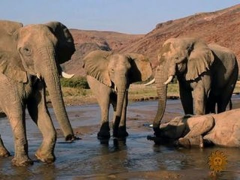 Poachers threaten survival of the African elephant