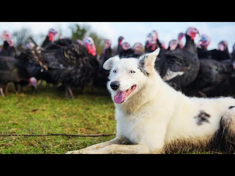 iHeartCountry Trending - WATCH: Dog Herds More Than 1,000 Turkeys