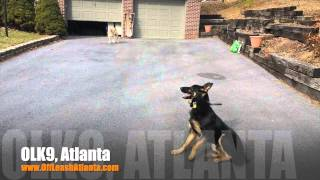Puppy Push-ups Under Crazy Distraction | German Shepherd | Dog Training Atlanta