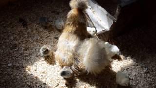silka kura jedwabista kwoka z kurczętami :)