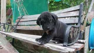 Fila Brasileiro The Ultimate Protection Dog. Best Puppies Available. Thor Do Granada