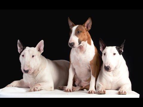 Le Bull Terrier Youtube
