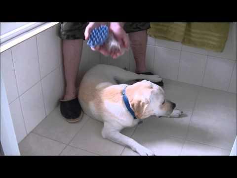 brushing-a-labrador---coat-shedding-/-moulting