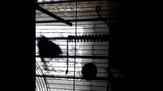 Синица масковка или московка (лат.Periparus ater)