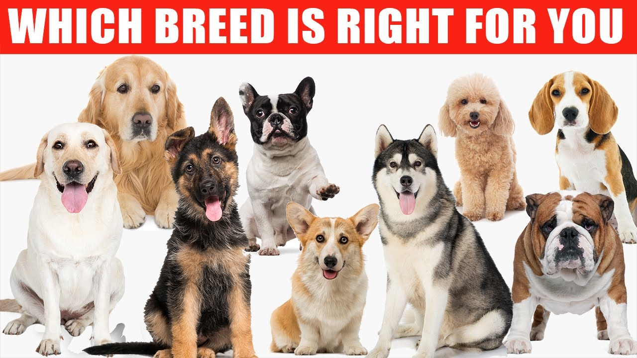 Review of the Top 10 Dog Breeds and Which Breed is Right for You