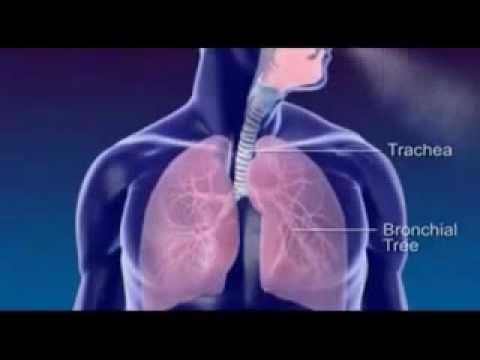 Cơ thể người: Cấu tạo hệ hô hấp - phần 2