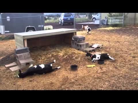 Increíble reacción de las cabras ante un paraguas