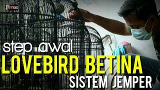 Download lagu STEP SISTEM JEMPER LOVEBIRD BETINA