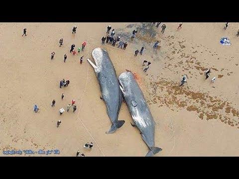 حقائق عن الحوت | الكائن العملاق الوحيد الحزين الذى لا يفهمه البشر !