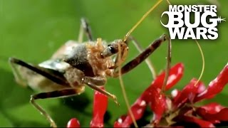 Bee Killer Assassin Bug Vs Earwig   MONSTER BUG WARS