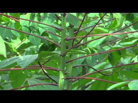 Tapioca plantation