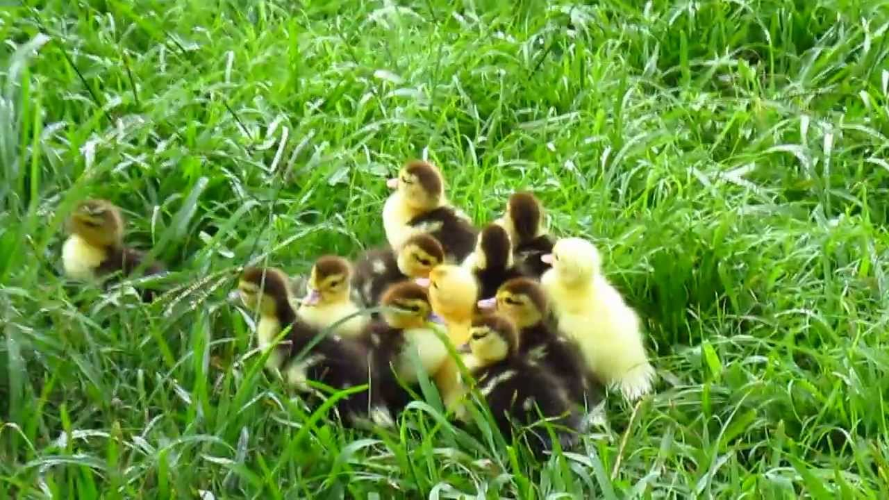 yellow baby ducks walking - photo #40