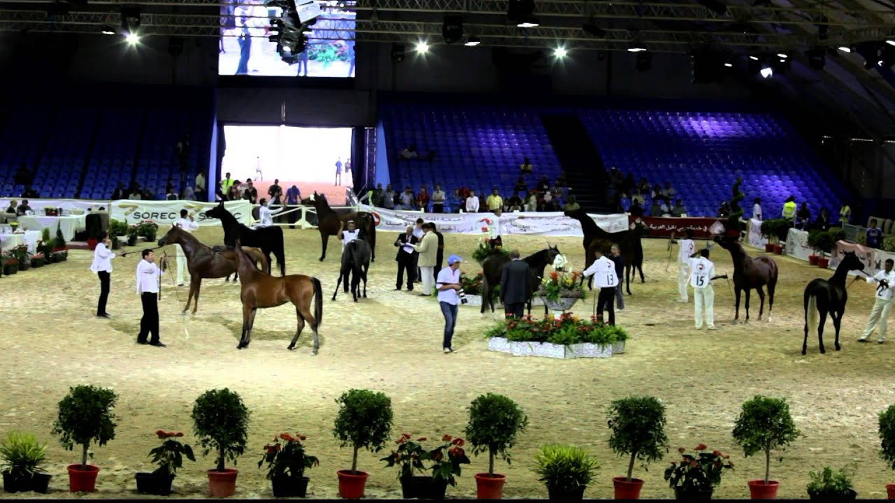 Show international a au salon du cheval d 39 el jadida 2013 for Salon du the