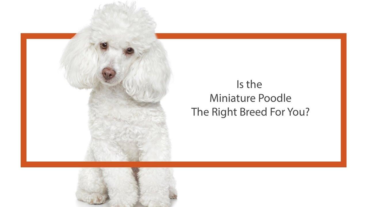 Miniature Poodle Puppies - Petland Iowa City