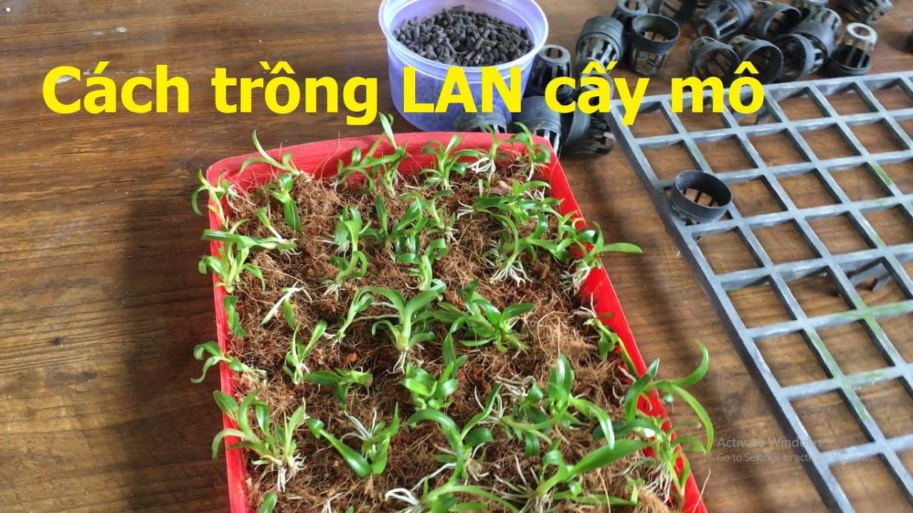 Chuẩn bị dụng cụ trồng LAN Denro cây cấy mô