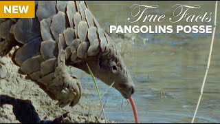 True Facts : Pangolins Posse