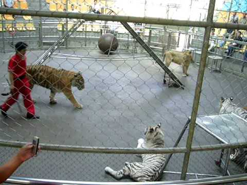 Hangzhou Zoo: White tigers