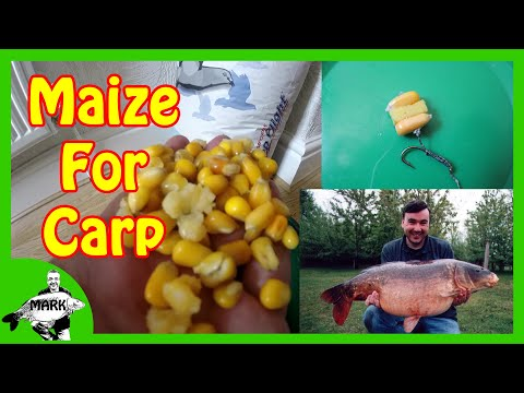 Preparing Maize for Carp Fishing