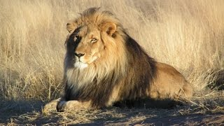 Nigeria's lion numbers in rapid decline