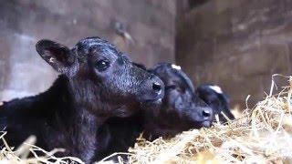Triplet Calves Born At Wheatacre.