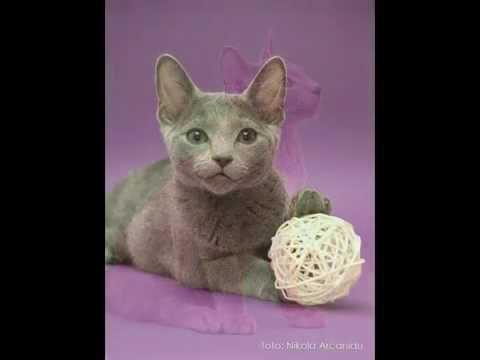 Russian Blue cat breed