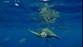 Great white shark territory - migration of ocean animals - seals, fish and turtles - BBC