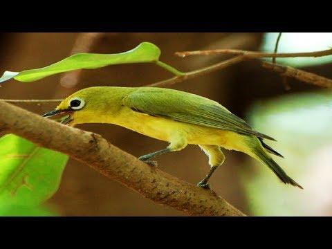 burung pleci gacor - Suara burung pleci gacor ngalas panjang