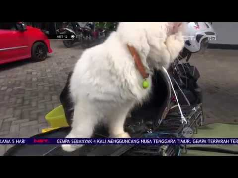 Unik! Pulang Kampung Bawa 3 Kucing Persia - NET 12