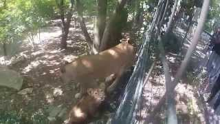 Small moment with the lioness of the zoo of beauval (gopro HD2)