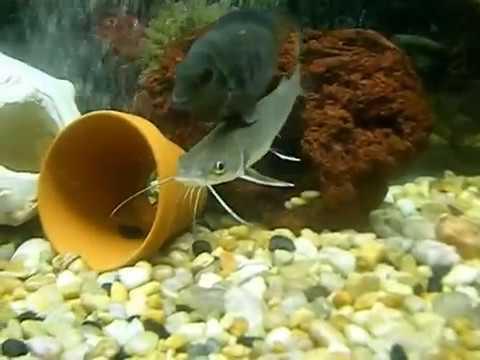 Columbian Shark Catfish In a 75 Gallon Fishtank YouTube