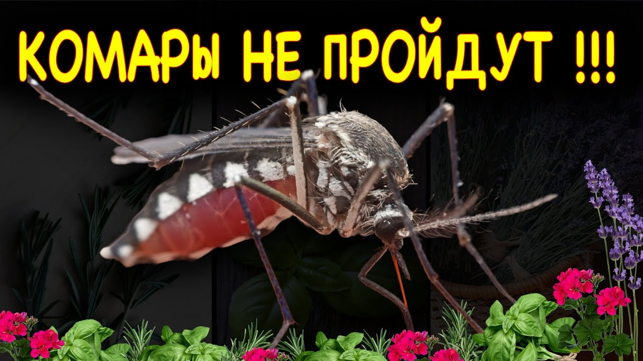 10 ВРАГОВ КОМАРОВ среди растений на вашей кухне, или как избавиться от комаров без вредной химии