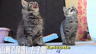 山奥に捨てられてた子猫兄弟、朝から一斉に大合唱♪ Great chorus of kitten brothers
