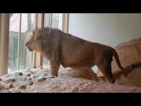 Brullende leeuw (Aapal) Diergaarde Blijdorp - Roaring lion Rotterdam Zoo