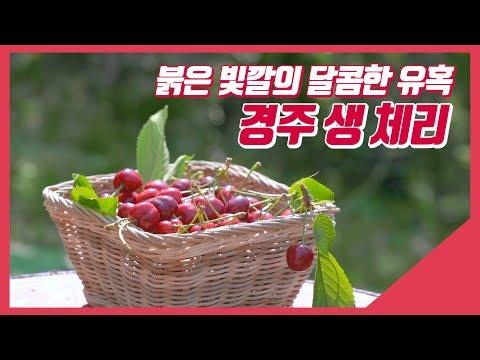 50년 체리농사의 노하우, 국내산 경주 생 체리