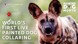 Painteddog.tv's Live Painted Dog Collaring | 6 December 2020