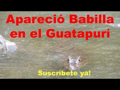 Aparece babilla en el río Guatapurí en Valledupar